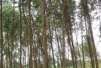 3 acres of Eucalyptus trees on sale