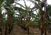 Banana plantation for sale in Busiika
