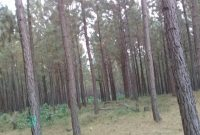 100 acres of pine trees for sale in Buhweju at 8m per acre