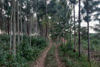 5 acres with eucalyptus for sale in Kasanje at 50m each