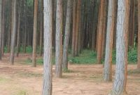 Pine trees for sale in Ibanda
