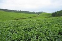 Tea plantations for sale in Uganda